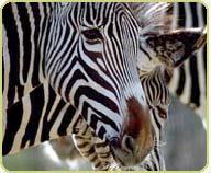cover_zebras